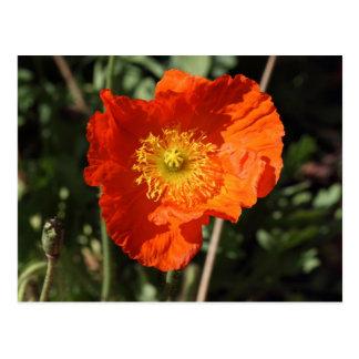 Welsh Poppy (Orange) Postcard