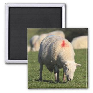 Welsh Sheep Square Magnet