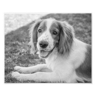 Welsh Springer Spaniel - Black & White | Photo
