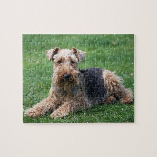 Welsh Terrier dog beautiful photo jigsaw puzzle
