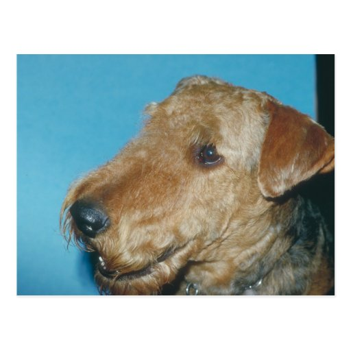 Welsh Terrier Post Cards