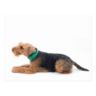 Welsh Terrier Postcard