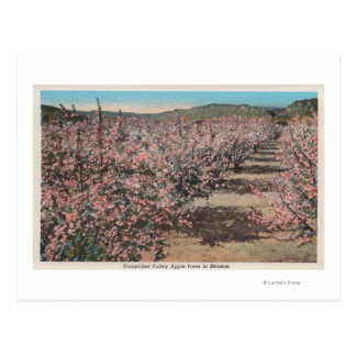 Wenatchee WAView of Apple Trees in Blossom Post Card
