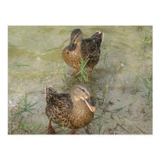 We're Sending You a Friendly Quack - Post Card