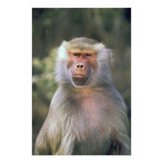 West Africa. Hamadryas baboon, or papio Photo Art
