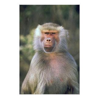 West Africa. Hamadryas baboon, or papio Photographic Print