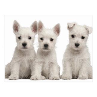 West Highland Terrier puppies (7 weeks old) Postcard