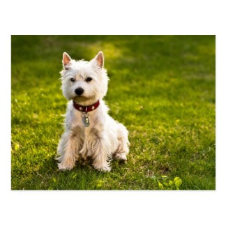 West Highland White Terrier Postcard