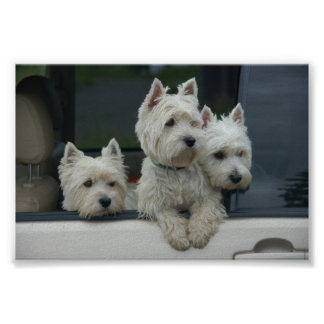 West Highland White Terriers Poster