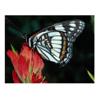 Western admiral on red Indian paintbrush flower Postcards