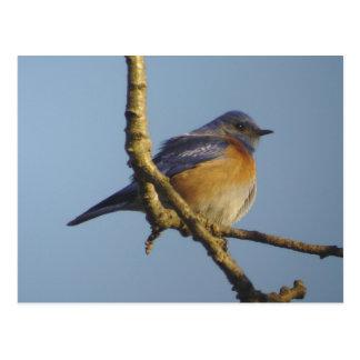 Western Bluebird 1 Postcard