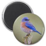Western Bluebird Refrigerator Magnets