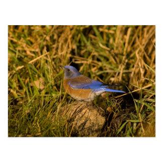 Western bluebird, Sialia mexicana, adult male Postcard