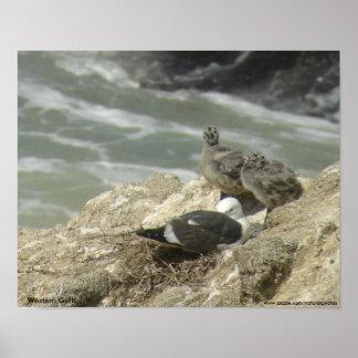Western Gulls Poster