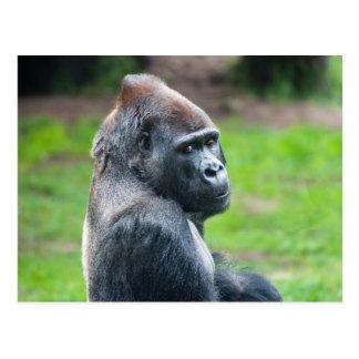 Western Lowland Gorilla Postcard