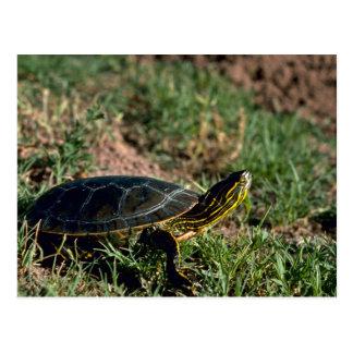 Western Painted Turtle Postcard