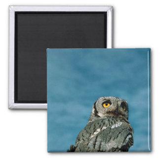 Western screech owl refrigerator magnet
