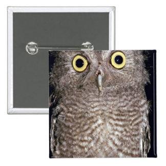 Western screech owl Otus kennicottii California Buttons