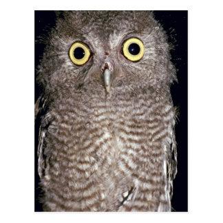 Western screech owl, Otus kennicottii, California, Post Cards