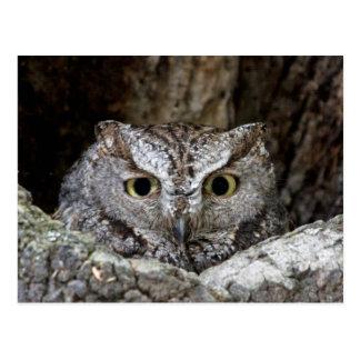 Western Screech Owl Postcard