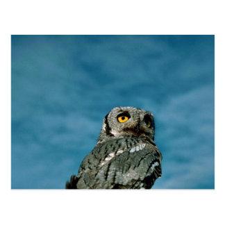 Western screech owl post cards