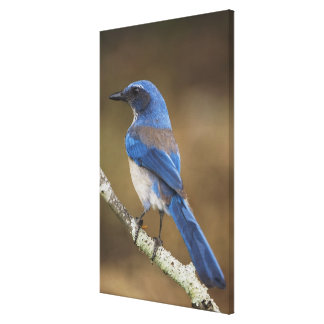 Western Scrub-Jay,  Aphelocoma californica, Gallery Wrapped Canvas