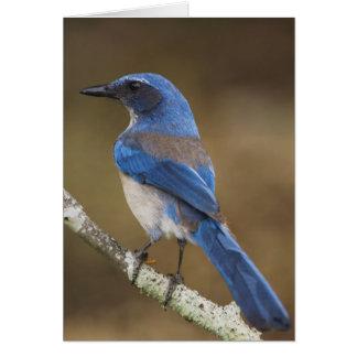 Western Scrub-Jay,  Aphelocoma californica, Greeting Card