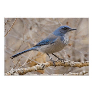 Western Scrub Jay Aphelocoma californica) Poster