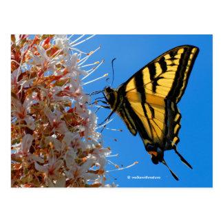 Western Tiger Swallowtail Butterfly on the Buckeye Postcard