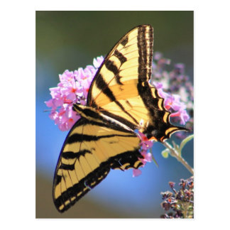 Western Yellow Swallowtail Butterfly Postcard