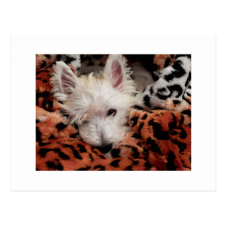 Westie on Tiger Blanket Postcard