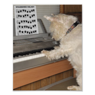Westie Playing Piano 8x10 print Photograph