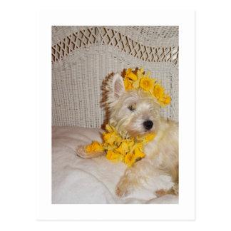 Westie Wicker Daffodil Postcard