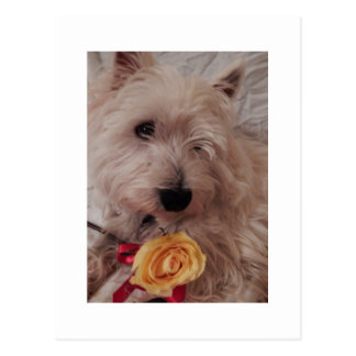 Westie Yellow Rose Postcard
