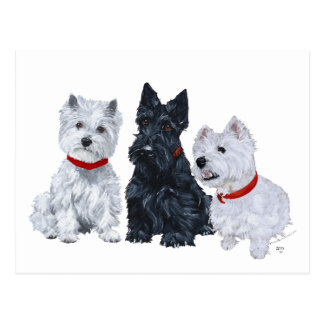 Westies and a Scottie Together Postcard