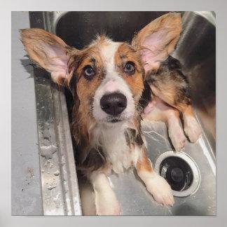 Wet Baby Corgi Puppy Poster