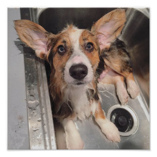 Wet Baby Corgi Puppy (With Huge Ears In The Sink) Poster