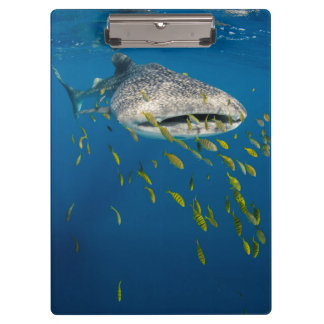 Whale Shark with fish, Indonesia Clipboards