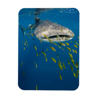 Whale Shark with fish, Indonesia Magnet