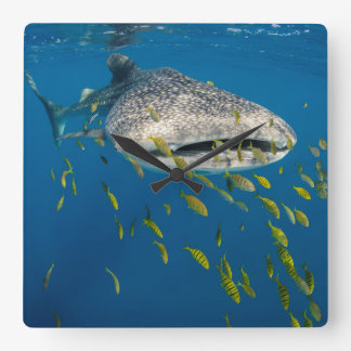Whale Shark with fish, Indonesia Square Wall Clock