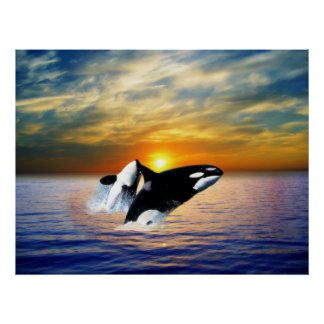 Whales at sunset poster