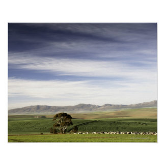 Wheat field landscape, Caledon area, Western Poster