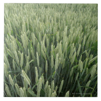 Wheat field large square tile