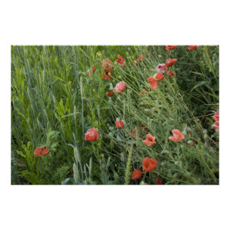 wheat&poppies poster