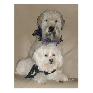 Wheaten Terrier and Havanese Postcard