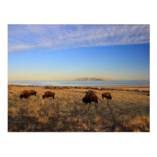 Where The Buffalo Roam Postcard