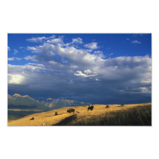 Where The Buffalo Roam Poster Print