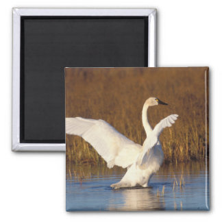 whistling swan, Cygnus columbianus, stretching Square Magnet