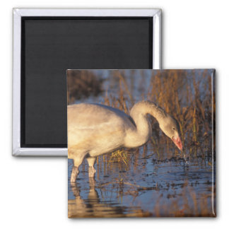 Whistling swan juvenile eating roots, 1002 square magnet