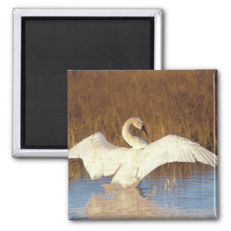 Whistling swan or tundra swan, stretching its square magnet